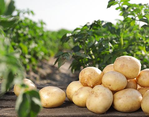 Kartoffelflocken auf dem Feld
