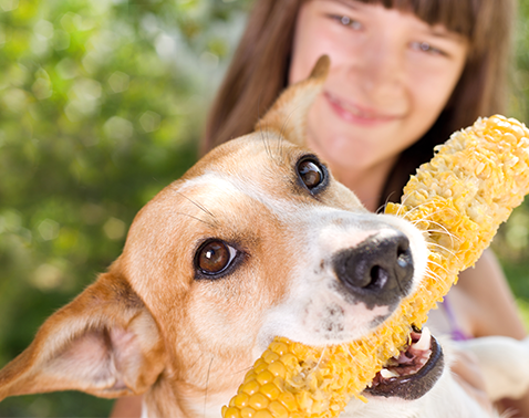 Hund mit Maiskolben im Mund